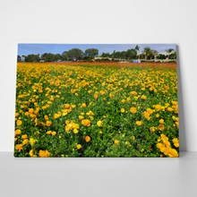 Yellow ranunculus fields 1049448287 a