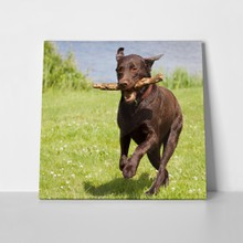 Brown labrador retriever running 106677428 a