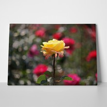 Yellow rose 149063936 a