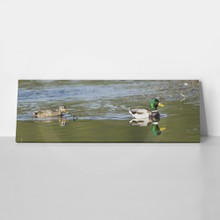 A panoramic image of a mallard couple in hauser lake  idaho.