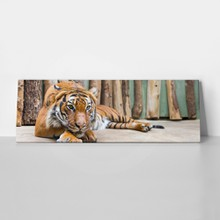 Ig adult tiger laying in captivity   panoramic view
