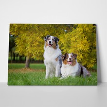 Two australian shepherd dogs 722981332 a