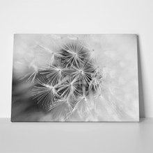 Black and white dandelion macro a