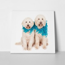 Two labradoodle dogs blue feather 348239810 a
