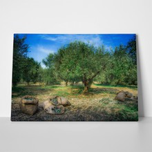 Harvested olives in sacks 520632013 a