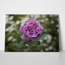 Purple rose 264606479 a