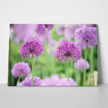 Allium in full bloom 68047585 a