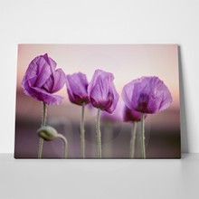 Meadow lilac poppy flowers early summer 728672797 a
