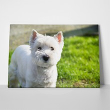 West highland white terrier 623989124 a