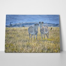Pair mountain zebras 482004895 a