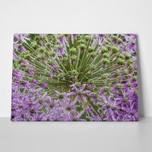 Abstract ornamental allium flowers 435536248 a