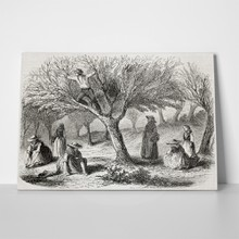 Old illustration olive harvesting france 80295628 a