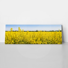 Rapeseed flowers in springtime 419405749 a