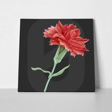 Carnation isolated 325928177 a