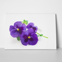 Beautiful pansy violets 229102153 a