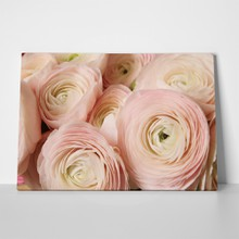Flowers ranunculus persian buttercup 619148693 a