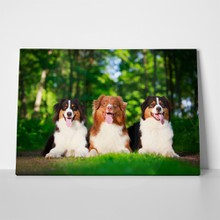 Three cute australian shepherd dogs 212272456 a