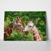 Giraffe mother 77031904 a