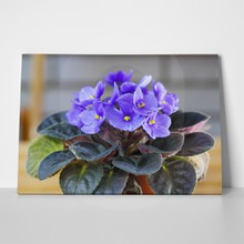 African violets parma 671105371 a