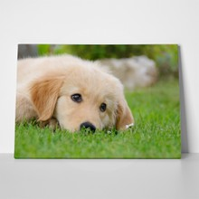 Golden retriever puppy resting 182357879 a