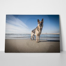 German shepherd standing front sea 275520389 a