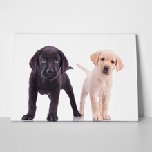 Little labrador retriever puppies 626840297 a
