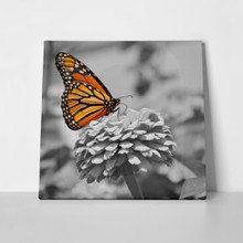 Black white monarch butterfly 59357437 a