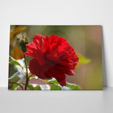 Red rose 2 149538008 a