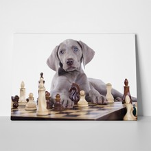 Weimaraner puppy plays chess 560561530 a