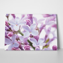 Lilac on white background 196525412 a