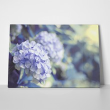 Hortensia flower hydrangea background 549222883 a
