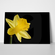 Yellow daffodil black background 382220590 a
