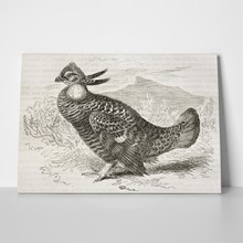 Prairie chicken old illustration 89998144 a