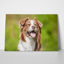 Portrait australian shepherd dog summer 335550314 a