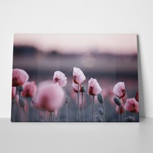Meadow pink poppy flowers evening 728671522 a