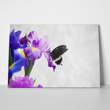 Butterfly on iris flower 1067837603 a