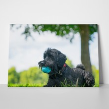 Black labradoodle sits on lawn 727987468 a