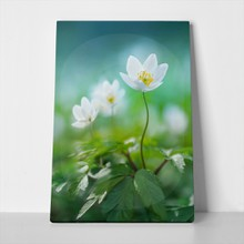 Beautiful white spring flower snowdrop anemone 556179244 a