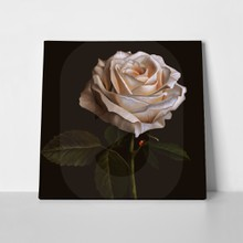 White rose flower on dark background 653215807 a