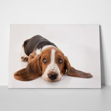 Basset hound puppy lying down 49432567 a