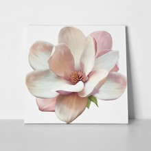 Magnolia flower isolated 203406988 a