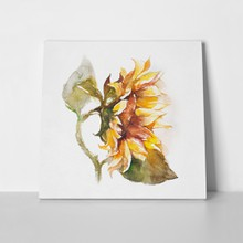 Sunflower watercolor painting on white 242504566 a